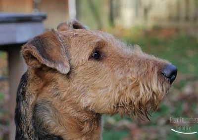 Airedale Terrier Sido im Profil