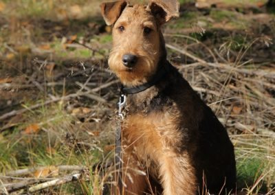 Airedale Terrier Sido im Wald
